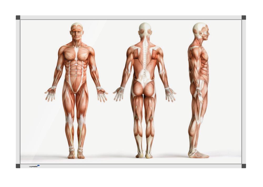 Staande anatomieman 100x150 cm